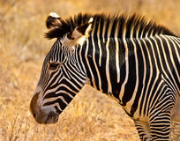 Zebra animal closeup of the head Stock Image