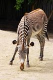 Zebra animal Stock Photos