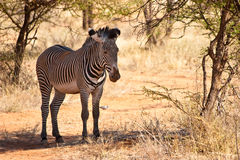 Zebra animal hiding for the sun. Under a tree Royalty Free Stock Photography