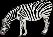 Zebra, Animal, Mammal, Black, White Stock Images