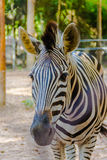 Zebra animal mammal hoofed odd. Classified in the genus horse (E Stock Image