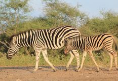 Zebra - Animal Moms at Work - Beauty from Africa Stock Photos