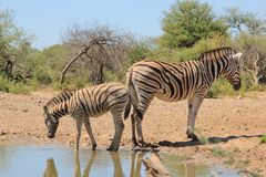 Zebra - Animal Moms at Work - Covering your rear end Royalty Free Stock Photography