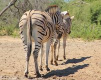 Zebra - Animal Moms at Work - Lined up Royalty Free Stock Images