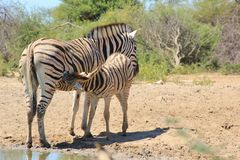 Zebra - Animal Moms at Work - Time to drink Royalty Free Stock Images