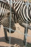 Zebra. At an animal park Stock Photos