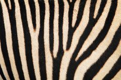 Zebra animal skin texture. As nice background Royalty Free Stock Images