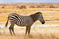Zebra animal walking in the serengeti Stock Images
