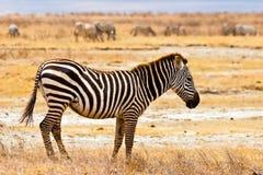 Zebra animal walking in the serengeti. In the sun Stock Images