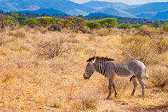Zebra animal walking in the serengeti. In the sun Royalty Free Stock Photos
