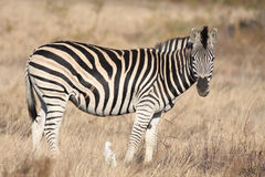 Zebra. Animals of Africa, this is a Zebra Stock Images