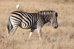 Zebra. Animals of Africa, this is a Zebra Royalty Free Stock Image