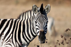 Zebra. Animals of Africa, this is a Zebra Royalty Free Stock Images