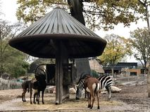 Zebra, antelope and other ungulates in a wooden animal feeder. In the zoo, Copenhagen stock photos