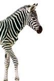 Zebra appena nata del bambino Fotografia Stock
