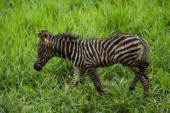 Zebra appena nata del bambino Immagini Stock