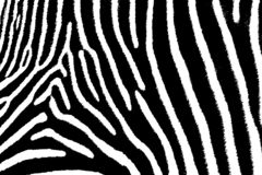 Zebra Art Royalty Free Stock Photography