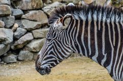 Zebra At The Artis Zoo Amsterdam The Netherlands 2018.  stock images