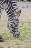 Zebra At The Artis Zoo Amsterdam The Netherlands 2018.  stock photos