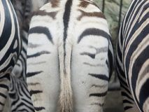 Zebra ass, of zebra, fat hip.  royalty free stock photo