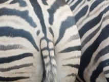 Zebra ass, of zebra, fat hip.  royalty free stock images