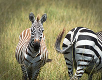 Zebra ass about face Royalty Free Stock Photography