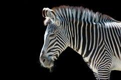 Zebra At The Zoo Royalty Free Stock Photos