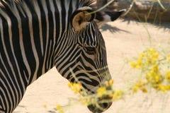 Zebra atrás das flores amarelas - jardim zoológico de Los Angeles Foto de Stock