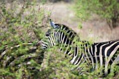 Zebra atrás do moite de arbustos Fotos de Stock Royalty Free