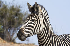 Zebra with attentive ears Royalty Free Stock Image