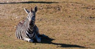 Zebra auf dem Gras Stockfoto