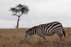 Zebra auf Ebenen mit Akazienbaum im Hintergrund Stockbilder
