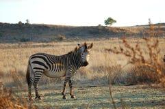 Zebra auf einem Gebiet Stockbilder