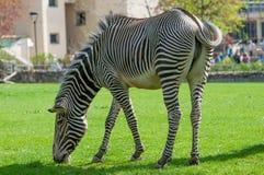Zebra auf einem Rasen Lizenzfreies Stockbild