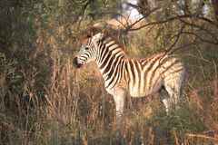 Zebra auf Safari Lizenzfreie Stockfotografie