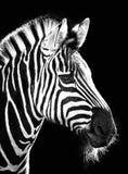 Zebra auf Schwarzem stockfotografie