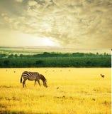 Zebra auf Sonnenaufgang Stockfotos