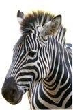 Zebra auf weißem Hintergrund Lizenzfreies Stockbild