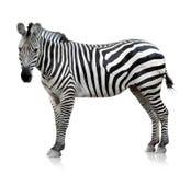 Zebra auf weißem Hintergrund Stockfotografie