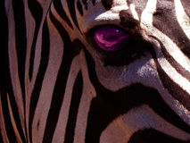 Zebra-Auge Stockfoto