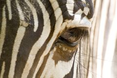 Zebra-Auge Stockfotos