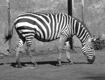 Zebra b/w Fotos de Stock Royalty Free
