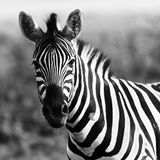 Zebra b&w Royalty Free Stock Image