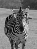 Zebra B&W Royalty Free Stock Photography