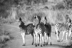 Zebra B&W. Kruger Park Royalty Free Stock Photo