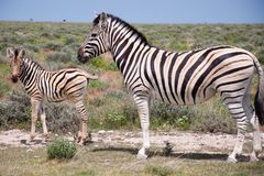 Zebra with a baby royalty free stock photos