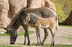 Zebra with a baby Stock Photos
