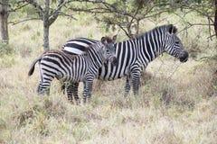 Zebra with baby Royalty Free Stock Photos