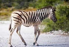 Zebra baby Stock Images