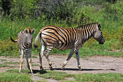 Zebra and Baby. Mother zebra keeps walking as baby stops to look Stock Photo